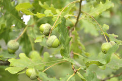 Filialer av en ek med gröna ekollonar Arkivbild