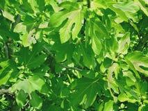 Filialer av en fikonträd med frukter Royaltyfria Bilder