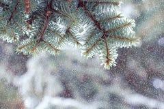 Filialer av en julgran som täckas med naturliga granwi för snö Arkivfoto