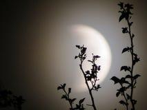 Filialer av en månförmörkelse 2 royaltyfria bilder
