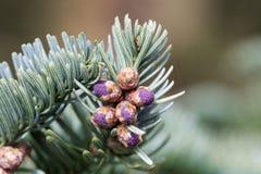 Filialer av en nobel gran Abies procera i springFreshfilialer av en nobel gran Abies procera i vår Royaltyfria Bilder