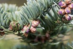 Filialer av en nobel gran Abies procera i vår Royaltyfri Fotografi