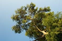 Filialer av en trädsikt underifrån Arkivfoton