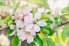 Filialer av ett äppleträd med rosa blommor i en blomma fruktträdgård på en solig dag för vår royaltyfria foton