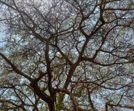 Filialer av ett akaciaträd royaltyfria bilder