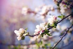 Filialer av ett Apple träd, som växer vita delikata blommor royaltyfria bilder