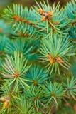 Filialer av ett barrträd Arkivbild