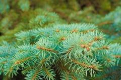 Filialer av ett barrträd Royaltyfria Bilder