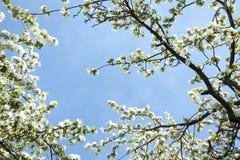 Filialer av ett blomstra Apple träd Royaltyfri Foto