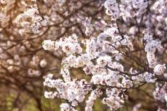 Filialer av ett blomstra körsbärsrött träd i vår i en fruktträdgård arkivbild