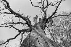 Filialer av ett dött jätte- träd Royaltyfri Fotografi