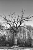 Filialer av ett dött jätte- träd Arkivbild