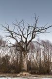 Filialer av ett dött jätte- träd Arkivbilder