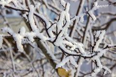 Filialer av ett lönnträd under snö royaltyfri fotografi