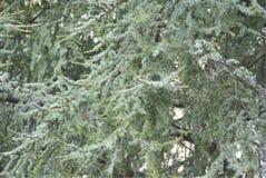 Filialer av ett libanesiskt cederträ Fotografering för Bildbyråer