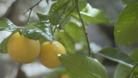 Filialer av ett orange träd lager videofilmer