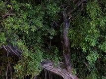 Filialer av ett stort tropiskt träd, natt royaltyfria bilder