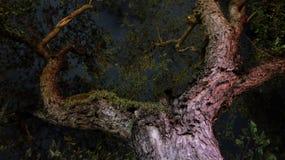 Filialer av ett stort tropiskt träd, natt arkivbild