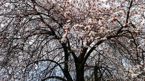 Filialer av ett träd i blomning - blomma för vårsäsong Arkivfoton