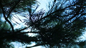 Filialer av ett träd sörjer granflyttningar i vinden arkivfilmer