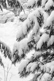 Filialer av ett träd som täckas och försvåras med ny snö Bilse Arkivfoton
