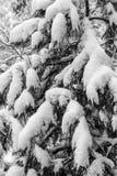 Filialer av ett träd som täckas och försvåras med ny snö Svärta a Arkivbild