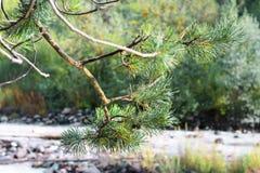 Filialer av evergreen för granträd med visare royaltyfri foto