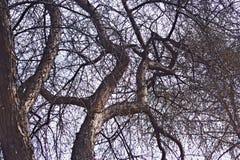 Filialer av gamla träd med att blomstra knoppar royaltyfria foton