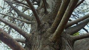 Filialer av gammalt parkerar trädet i botaniska trädgården, anoranslutning, historia stock video