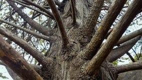 Filialer av gammalt parkerar trädet i botaniska trädgården, anoranslutning, historia arkivfoto