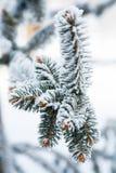 Filialer av gran i den insnöade vintern Arkivbild