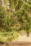Filialer av granen arkivfoto