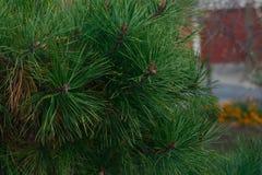 Filialer av granträd Royaltyfri Foto