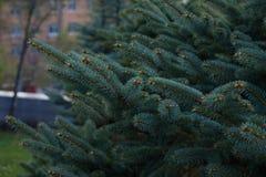 Filialer av granträd Royaltyfri Bild