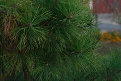 Filialer av granträd Arkivfoto