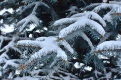 Filialer av granträdet som täckas med en snö royaltyfri fotografi