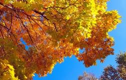 Filialer av höstlönnträdet med ljus gul lövverk mot bakgrund för blå himmel royaltyfri bild