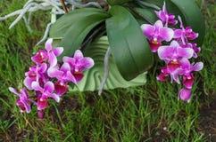 Filialer av h?rliga purpurf?rgade orkid?r i en blomkruka p? gr?set royaltyfri fotografi