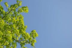 Filialer av kastanjen med ljust - gr?na sidor mot den bl?a himlen solig dagsommar kopiera avst?nd royaltyfri fotografi