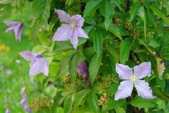 Filialer av klematiers med violetta blommor och breda druvor Royaltyfria Foton