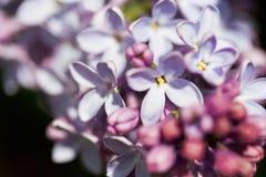 Filialer av lilan Arkivfoton