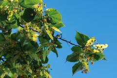 Filialer av lindträdet arkivbilder