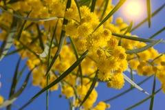 Filialer av mimosan Fotografering för Bildbyråer