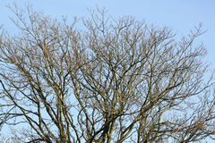 Filialer av nakna träd Royaltyfri Bild