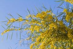 Filialer av oavkortad blom för mimosa i det ljusa solskenet på den blåa himlen av våren arkivbild