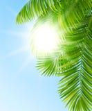 Filialer av palmträd Arkivbild