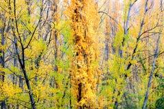 Filialer av poplartrees i höst Royaltyfri Fotografi