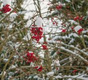 Filialer av röda rönnbär i vinterskog fotografering för bildbyråer