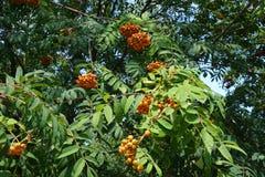 Filialer av rönnen med frukter och sidor Royaltyfri Foto