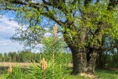 Filialer av sörja-träd med unga forsar på bakgrunden av en forntida ek i vår royaltyfri bild